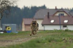 Perro corriente - pastor alemán imagen de archivo libre de regalías