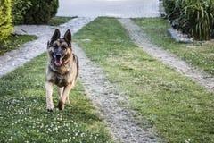 Perro corriente - pastor alemán imágenes de archivo libres de regalías