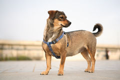 Perro corto de la pierna Fotos de archivo libres de regalías