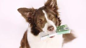 Perro criado en línea pura de la frontera del collie con la pila de cuentas cientos euros almacen de metraje de vídeo