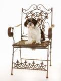 Perro criado en línea pura de Shih Tzu Fotografía de archivo