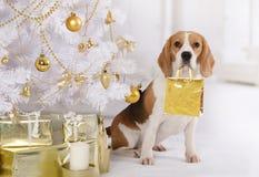 Perro criado en línea pura del beagle con un paquete del regalo en su boca Imagen de archivo