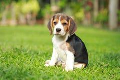 Perro criado en línea pura del beagle que busca algo Fotos de archivo libres de regalías