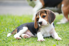 Perro criado en línea pura del beagle que busca algo Imagenes de archivo