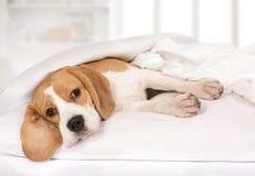 Perro criado en línea pura del beagle que miente en la cama Foto de archivo libre de regalías