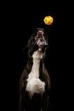 Perro criado en línea pura del boxeador aislado en fondo negro Imágenes de archivo libres de regalías