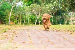 Perro criado en línea pura del caniche activo que corre y que ejercita en el parque imagenes de archivo