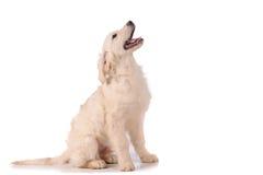 Perro criado en línea pura del golden retriever Foto de archivo libre de regalías
