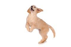 Perro criado en línea pura del golden retriever Imágenes de archivo libres de regalías