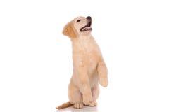 Perro criado en línea pura del golden retriever Imagen de archivo libre de regalías