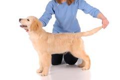 Perro criado en línea pura del golden retriever Fotos de archivo libres de regalías