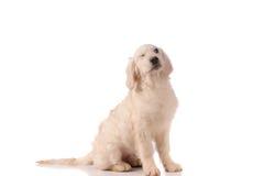 Perro criado en línea pura del golden retriever Fotografía de archivo libre de regalías