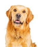 Perro criado en línea pura feliz del golden retriever del retrato Imágenes de archivo libres de regalías
