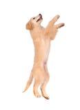 Perro criado en línea pura del golden retriever Imagenes de archivo