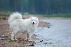 Perro criado en línea pura del samoyedo que se coloca alrededor del agua en la costa Imagenes de archivo