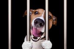 Perro criminal detrás de barras en la comisaría de policías, la prisión de la cárcel, o el shel imagenes de archivo