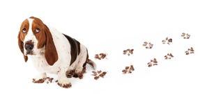 Perro culpable con Muddy Paws Foto de archivo libre de regalías