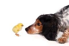 Perro curioso con el polluelo imagenes de archivo