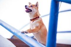 Perro curioso que busca el smth en las escaleras azules Fotos de archivo libres de regalías