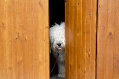 Perro curioso y tímido que oculta detrás de la puerta de madera Imagen de archivo