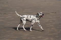 Perro dálmata imagen de archivo