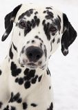 Perro dálmata imagen de archivo libre de regalías