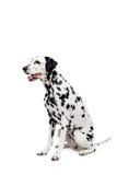 Perro dálmata, aislado en blanco Foto de archivo