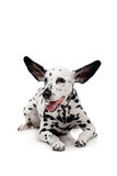 Perro dálmata, aislado en blanco Fotos de archivo libres de regalías