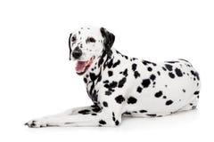 Perro dálmata, aislado en blanco Fotografía de archivo libre de regalías