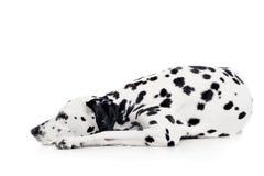 Perro dálmata, aislado en blanco Foto de archivo libre de regalías