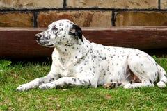 Perro dálmata que miente y que descansa abajo sobre la hierba Fotos de archivo libres de regalías