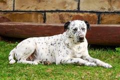 Perro dálmata que miente y que descansa abajo sobre la hierba Imagen de archivo