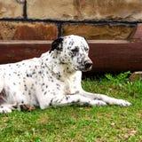 Perro dálmata que miente y que descansa abajo sobre la hierba Foto de archivo