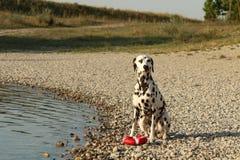 Perro dálmata que se sienta al lado de un lago con un juguete rojo Fotos de archivo libres de regalías