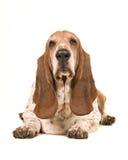 Perro de afloramiento adulto que miente abajo haciendo frente a la cámara vista del frente Imagen de archivo