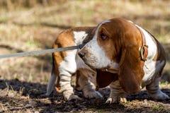 Perro de afloramiento, una raza de los perros del beagle, criada en Inglaterra foto de archivo libre de regalías