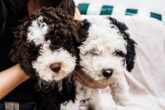 Perro de agua español fotografía de archivo libre de regalías