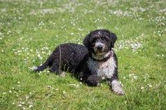 Perro de agua español fotografía de archivo