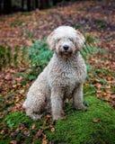 Perro de agua español imagenes de archivo