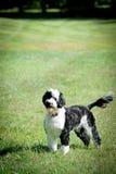 Perro de agua portugués Imágenes de archivo libres de regalías