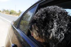 Perro de agua portugués en la ventana abierta del coche, días de fiesta Fotografía de archivo