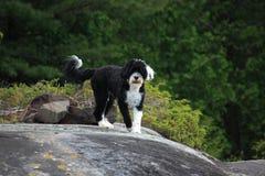 Perro de agua portugués listo para una aventura foto de archivo libre de regalías