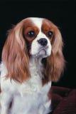 Perro de aguas Foto de archivo libre de regalías