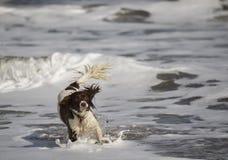 Perro de aguas Fotos de archivo libres de regalías