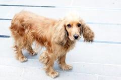 Perro de aguas americano de la cocina Imágenes de archivo libres de regalías