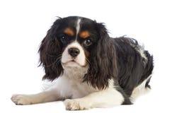 Perro de aguas arrogante de rey Charles que miente y que mira todo derecho Foto de archivo libre de regalías
