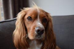 Perro de aguas bonito Imágenes de archivo libres de regalías