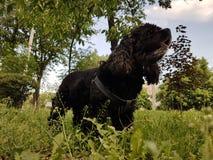 Perro de aguas de cocker americano imagen de archivo libre de regalías