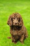 Perro de aguas de Boykin Imagen de archivo