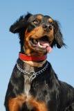 Perro de aguas de Bretaña Fotos de archivo libres de regalías